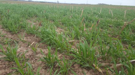 Close up of cover crops on an agricultural field