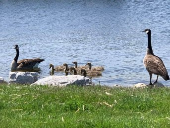 A family of geese at Lakeshore State Park